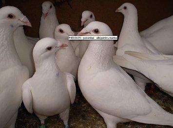 Porumbei voiajori Nunta Ploiesti